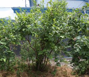 小平市にある島村ブルーベリー園は樹齢30年を超えるものも多い