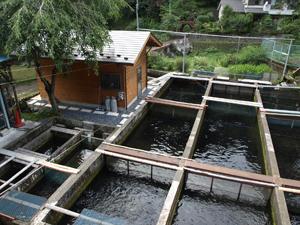 牧野さん宅の養魚場。奥多摩やまめ、ニジマスが約2000匹飼育されている