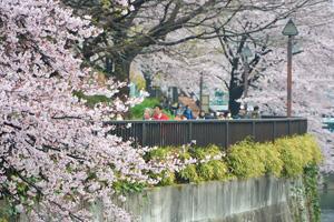 桜を愛でながら歩こう