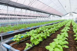 ビニールハウスを用いた栽培施設では、最大1万株を同時栽培。現在、ハーブやフルーツ、わさびなどを栽培